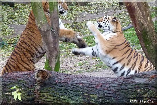 Sibirische Tiger ALTAI und HANYA