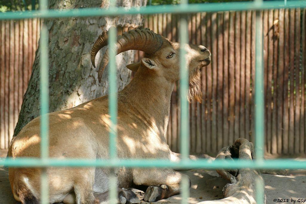 Westkaukasischer Steinbock (Kuban-Tur)
