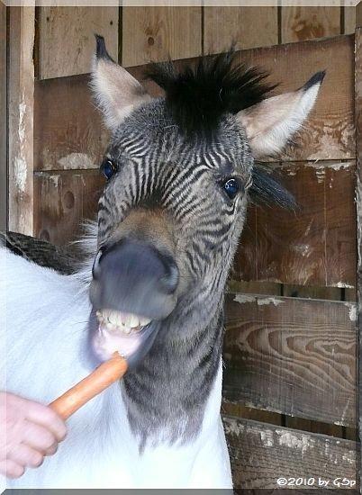 Zebra-Pferd ECLYSE