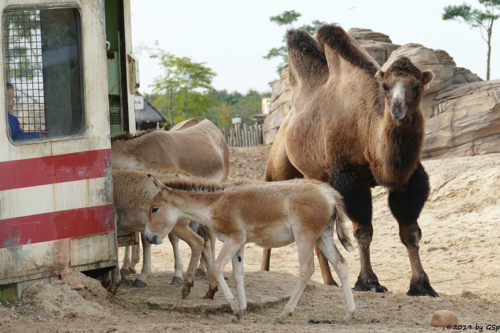 Onager (Persischer Halbesel), Trampeltier (Zweihöckriges Kamel, Hauskamel)