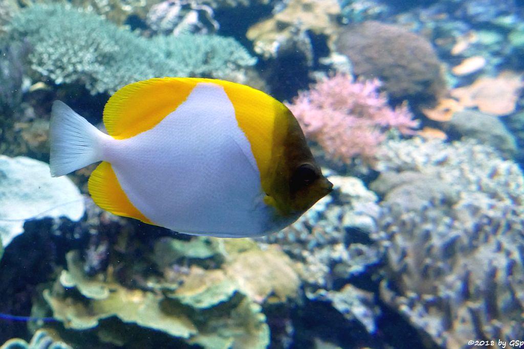 Gelber Pyramidenfalterfisch