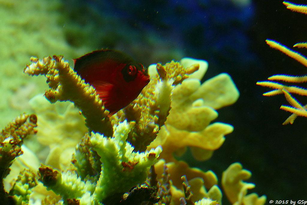 Feuer-Korallenwächter (Roter Korallenklimmer)