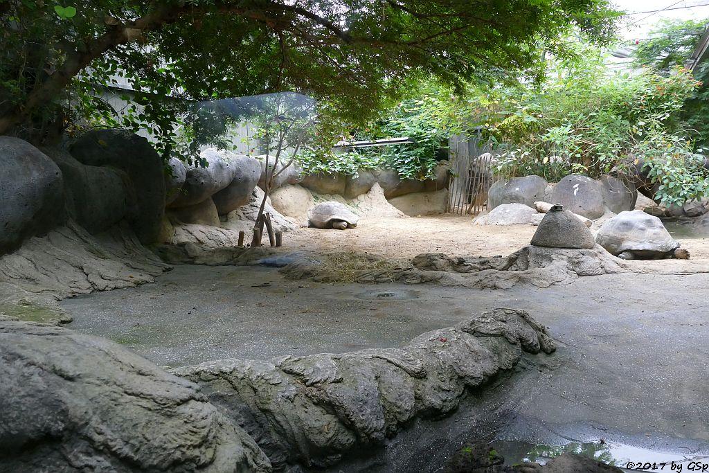 Galapagos-Riesenschildkröte (Elefantenschildkröte)