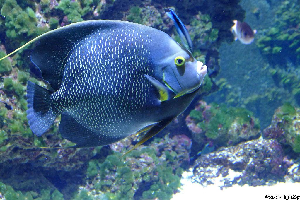Franzosenkaiserfisch (Schwarzer Engelsfisch)