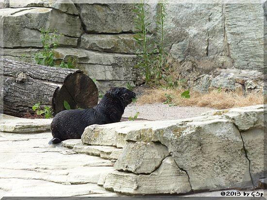 Südafrikanischer Zwergseebär