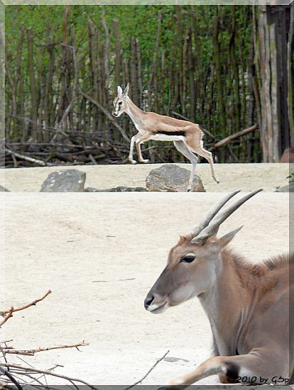 Thomson-Gazelle und Elenantilope