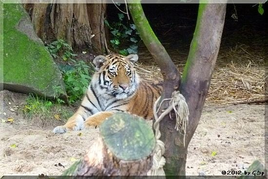 Sibirischer Tiger JEGOR