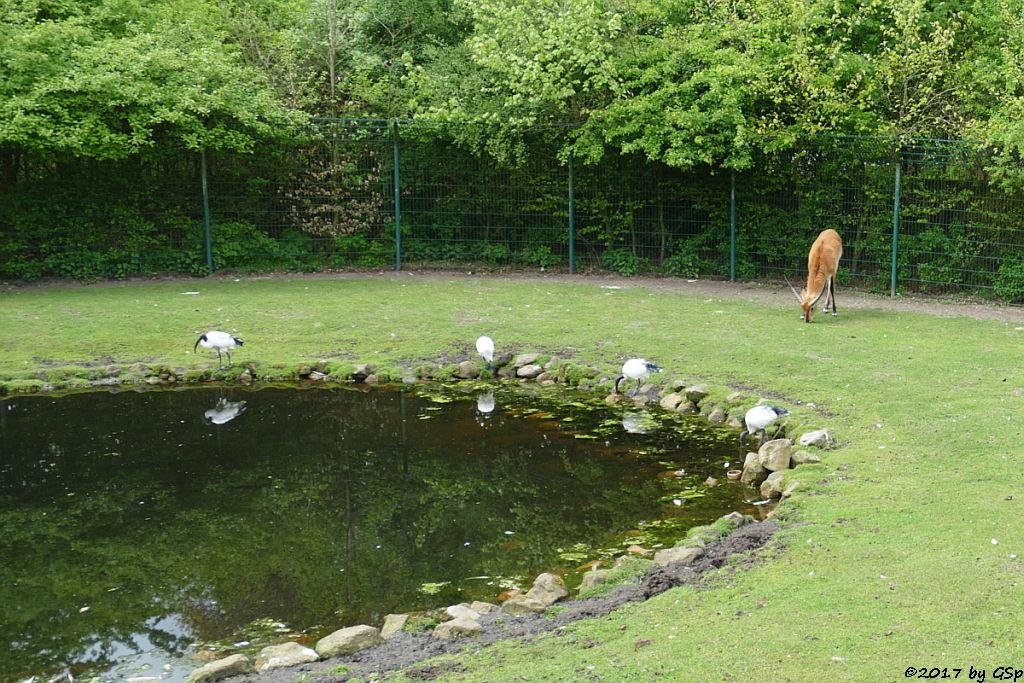 Heiliger Ibis, Kafue-Litschi (Letchwe, Kafue-Litschi-Wasserbock) Heiliger Ibis