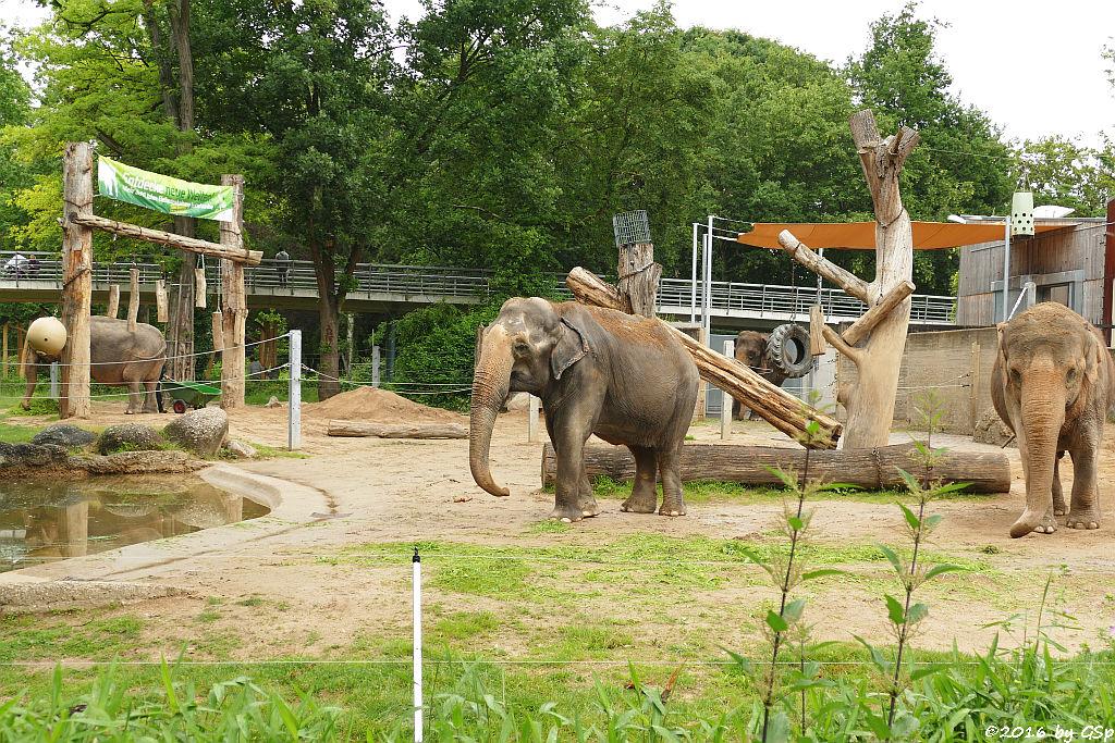 siatischer Elefant  NANDA, RANI, JENNY, SHANTI