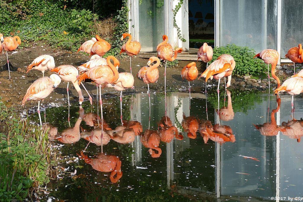 Kubaflamingo (Karibischer Flamingo, Roter Flamingo), Chileflamingo (Chilenischer Flamingo)