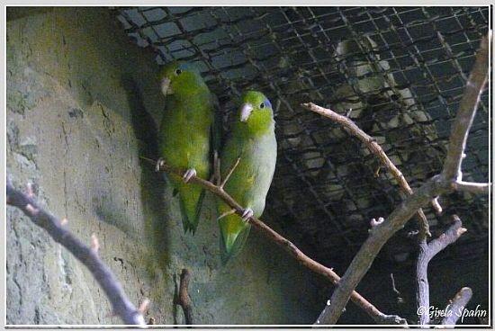 Blaugenick-Sperlingspapagei