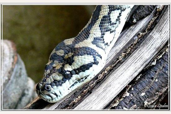 Teppich-Python
