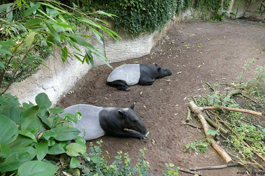 Schabrackentapir (Malaysischer Tapir) COPASHI und LAILA