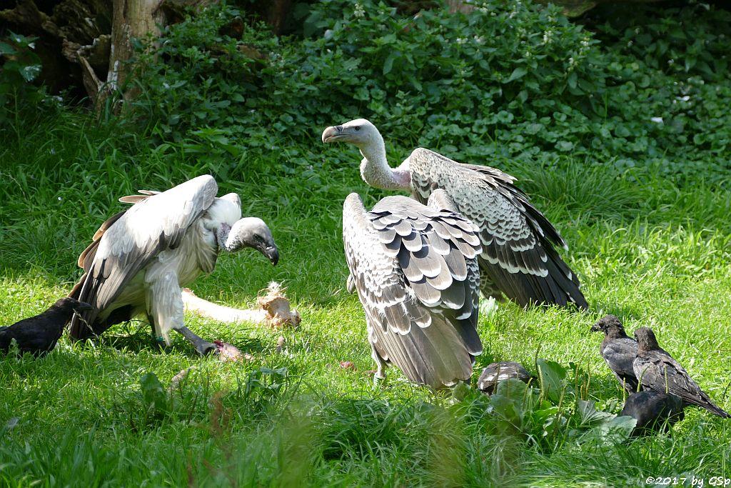 Weißrückengeier (Zwerggänsegeier),  Sperbergeier (Rüppellgeier)
