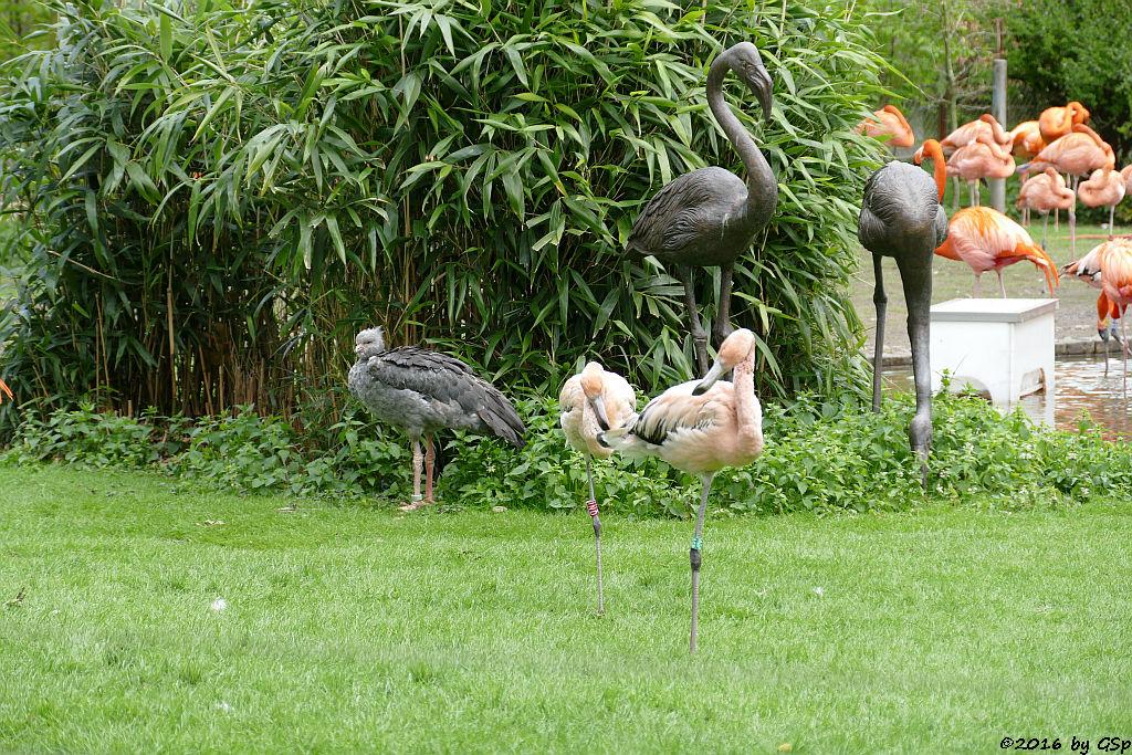 Halsband-Wehrvogel (Schopfwehrvogel, Tschaja), Kubaflamingo