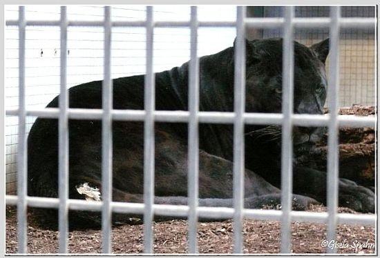Jaguar PETRA