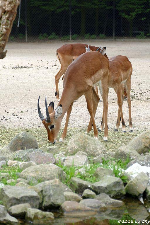 Gewöhnliche Impala (Schwarzfersenantilope