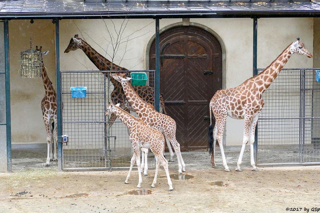 Kardofan-Giraffe, Jungtiere geb. 28.02.+14.07.17