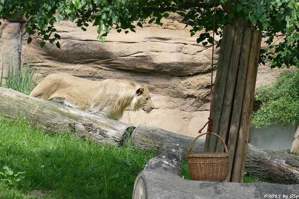 Kalahari-Löwe (Etoscha-Löwe, Wüstenlöwe) MAJO