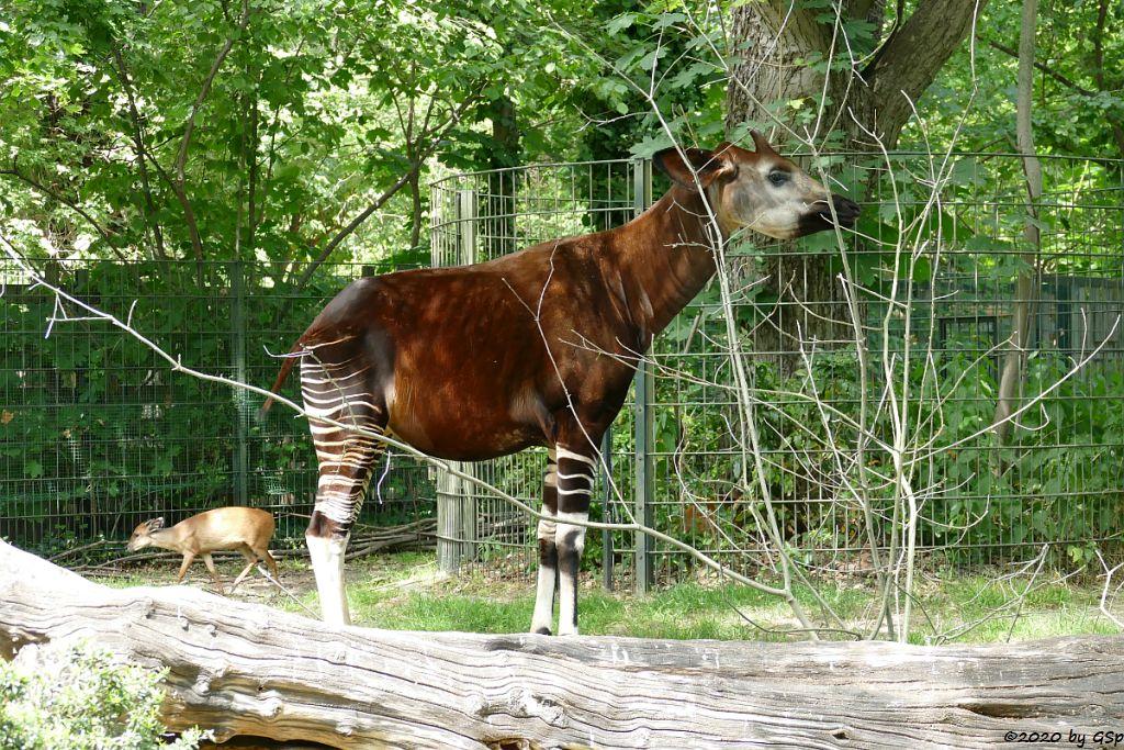 Rotducker, Okapi (Kurzhalsgiraffe, Waldgiraffe)
