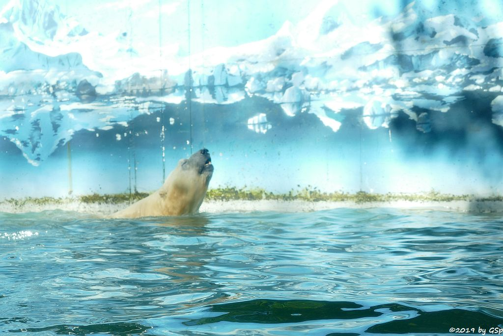 Eisbär (Polarbär)