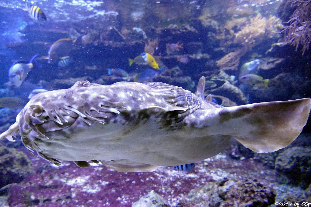 Gefleckter Teppichhai (Gepunkteter Teppichhai)