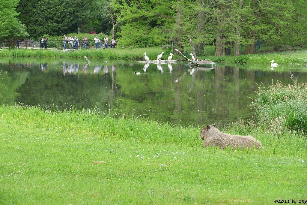 Rötelpelikan (Rotrückenpelikan),Wasserschwein (Capybara)