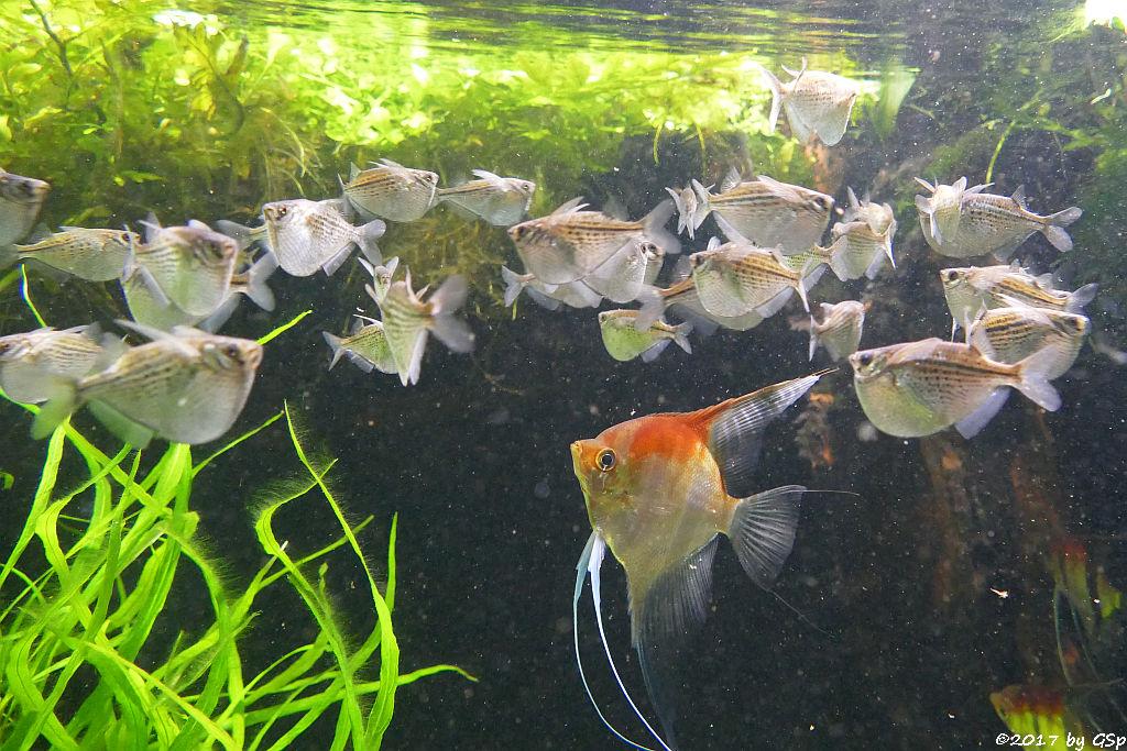 Gepunkteter Beilbauch (Gefleckter Beilbauchfisch), Rotrückenskalar