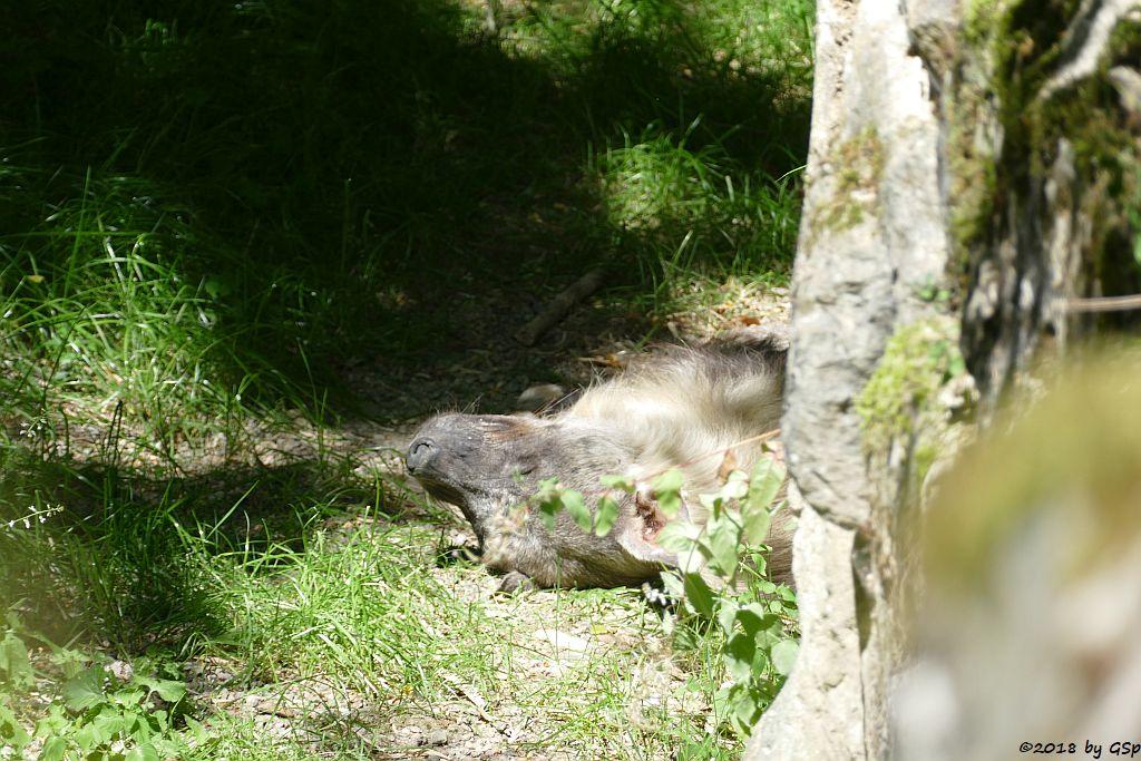 Schabrackenhyäne (Braune Hyäne, Strandwolf)