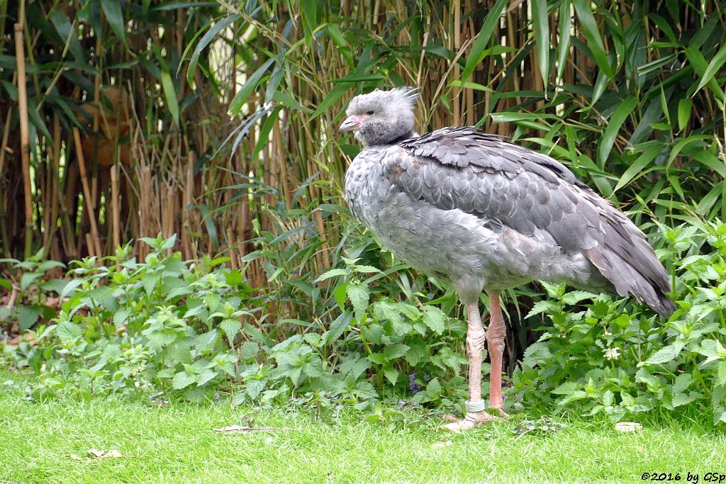 Halsband-Wehrvogel (Schopfwehrvogel, Tschaja)