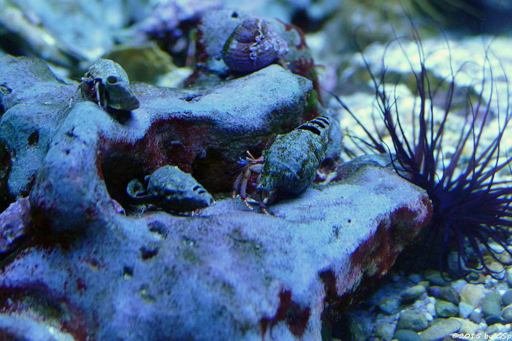 Einsiedlerkrebs, Schwarzer Seeigel