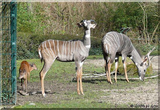 Kleiner Kudu und Chinesisscher Muntjak
