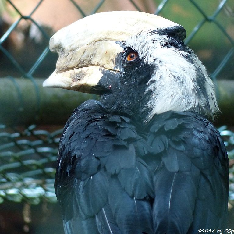 Malaienhornvogel