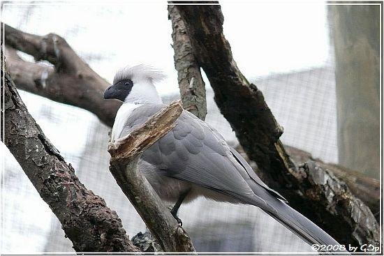 Nacktkehl-Lärmvogel