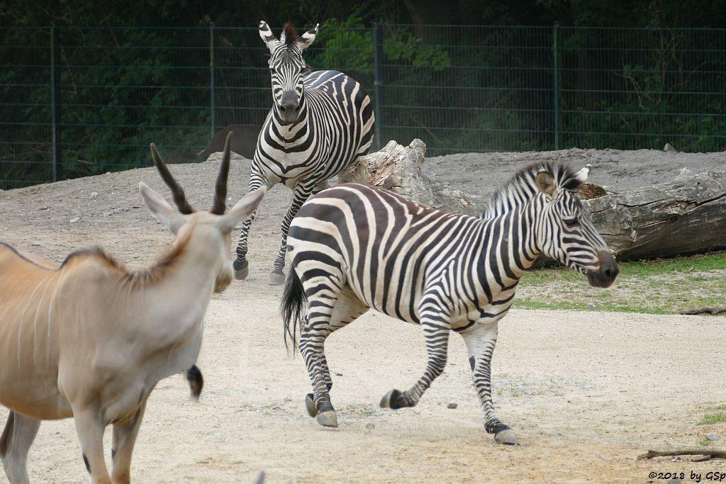 Elenantilope, Böhm-Steppenzebra (Grant-Zebra)