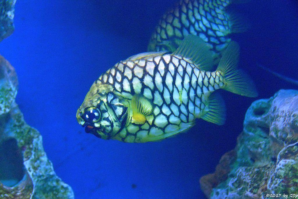 Australischer Tannenzapfenfisch (Ananasfisch)