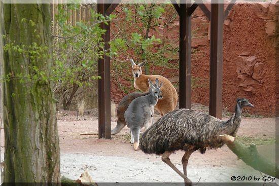 Emu und Emu und Rotes Riesenkänguru