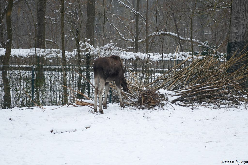 Eurasischer Elch (Europäischer Elch)