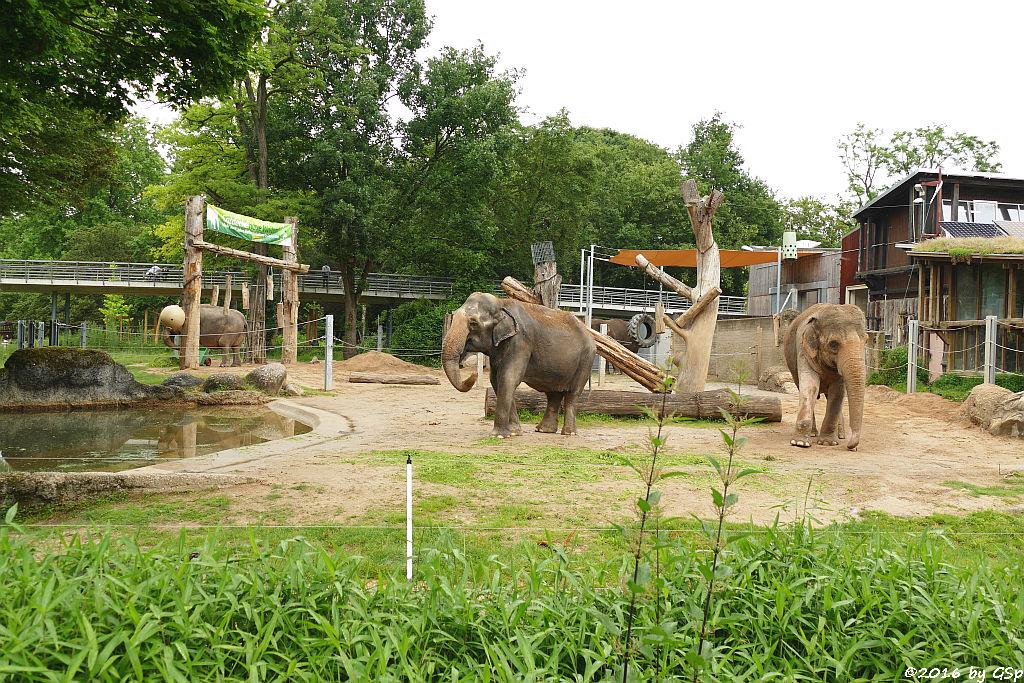 Asiatischer Elefant  NANDA, RANI, JENNY, SHANTI