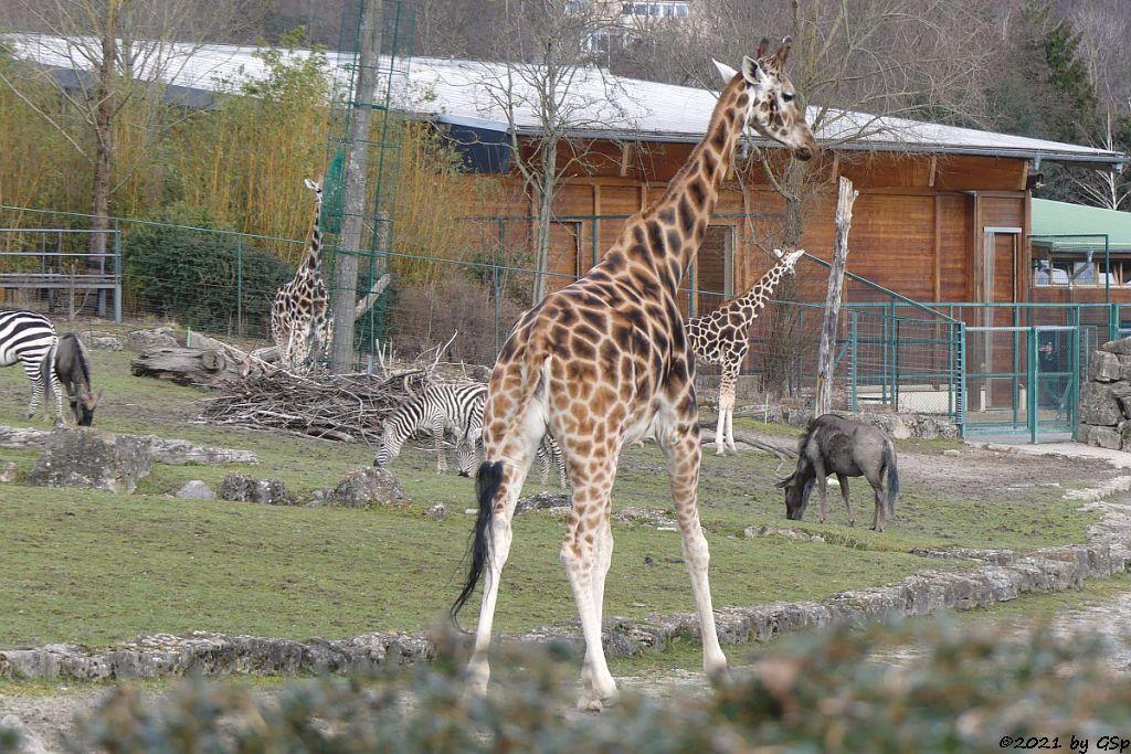 Böhm-Steppenzebra (Grant-Zebra), Südliches Streifengnu (Blaues Gnu), Rothschildgiraffe (Uganda-Giraffe, Baringo-Giraffe)