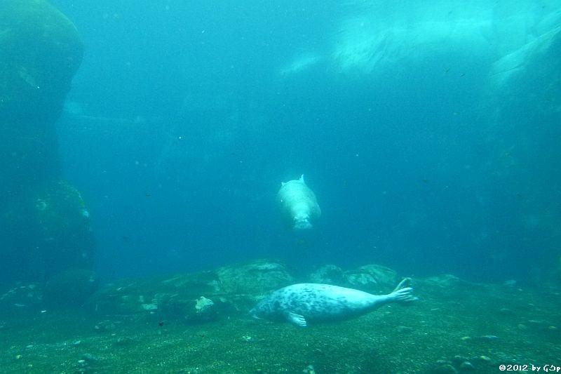 Seehund und Walross-Dame NESEYKA