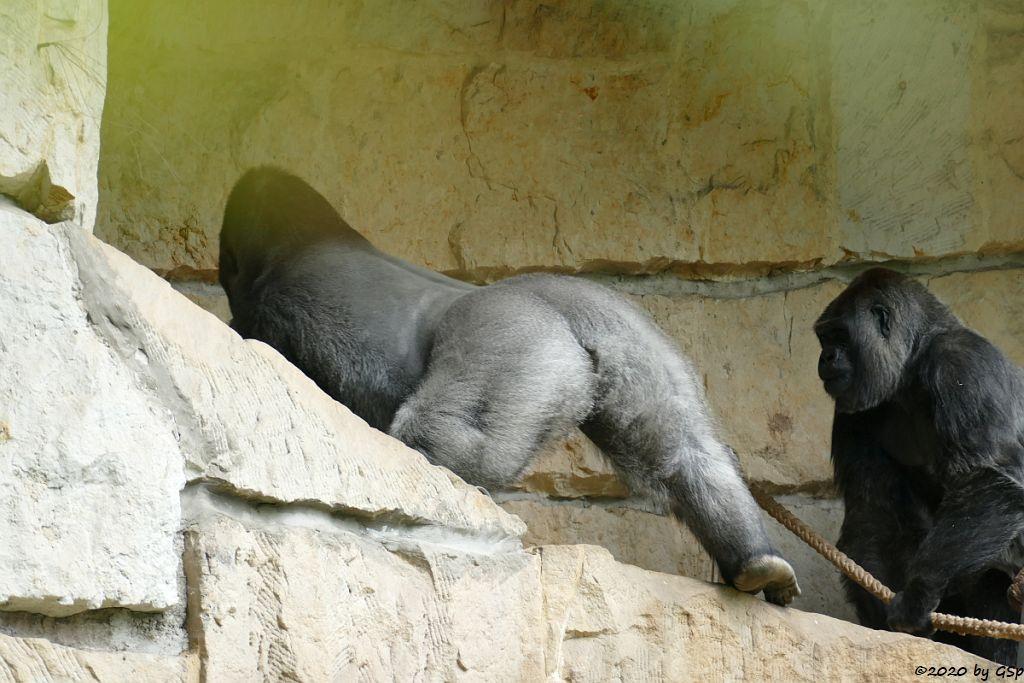Flachlandgorilla SANGO