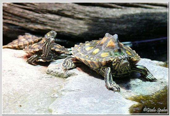 Zwerg-Höckerschildkröte