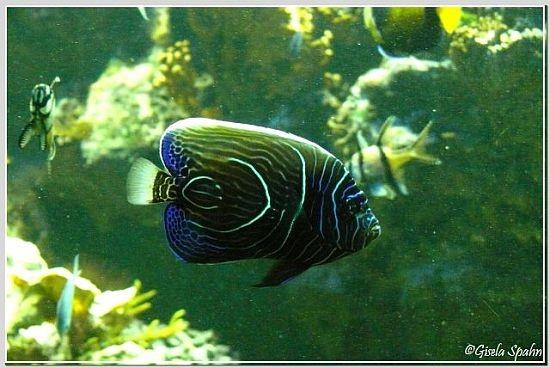 Nicobaren-Kaiserfisch