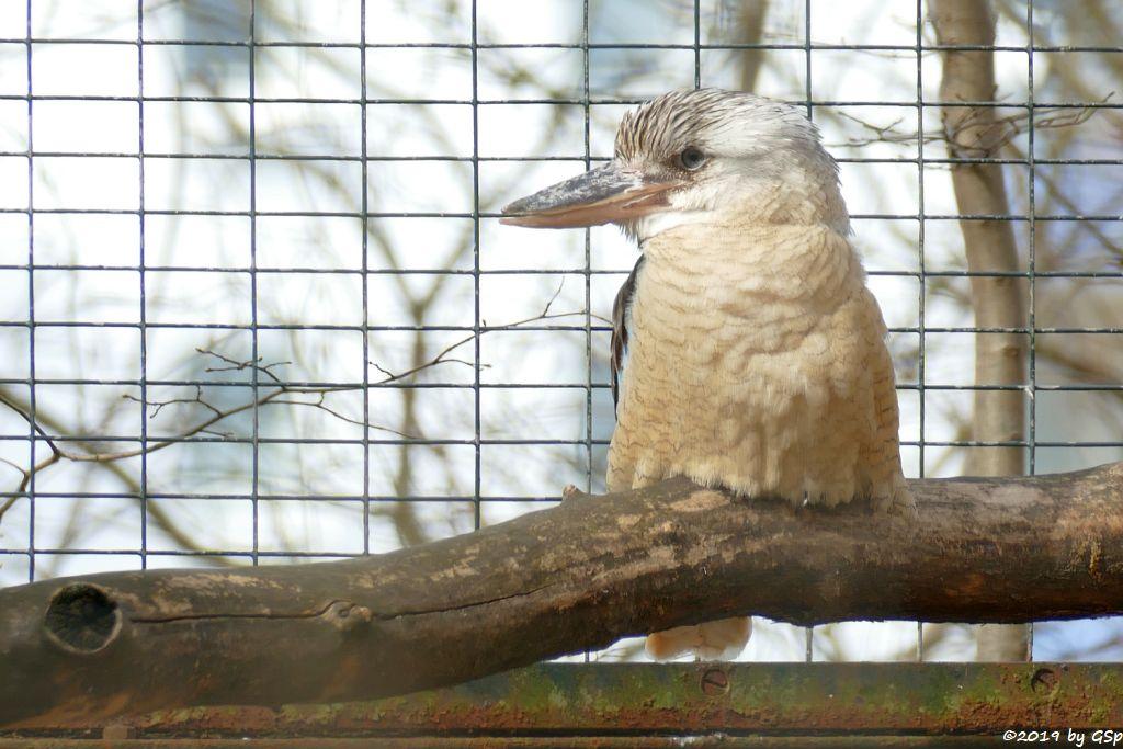 Haubenliest (Blauflügel-Jägerliest, Blauflügel-Kookaburra)