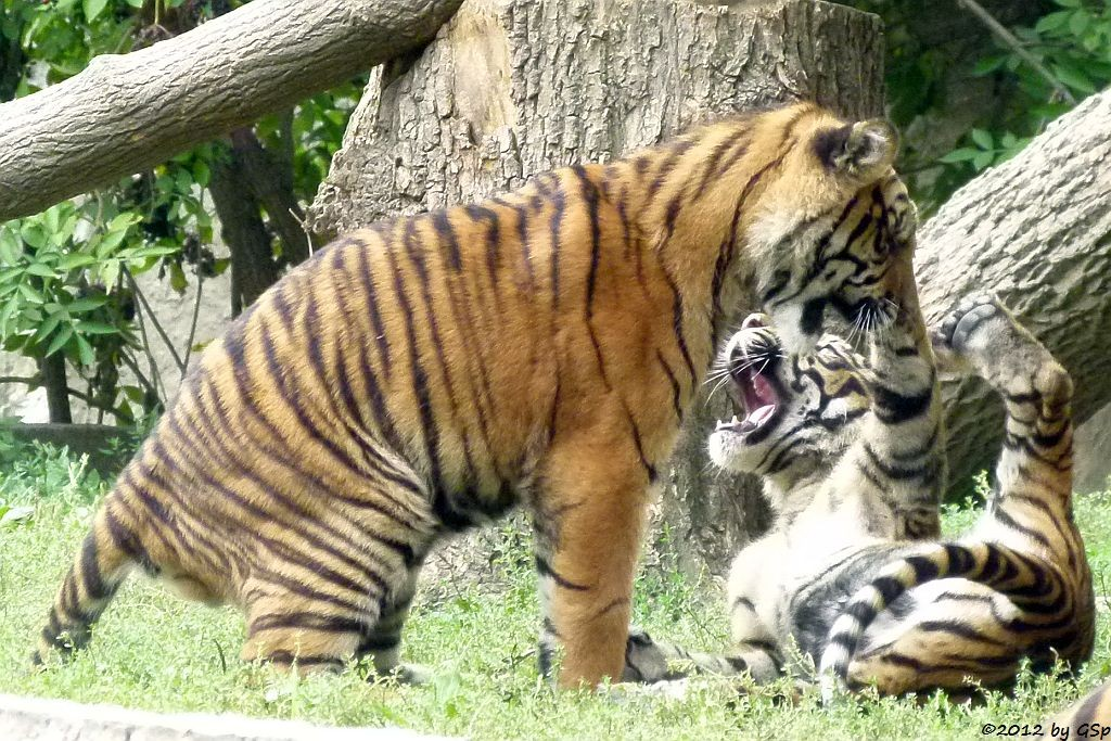Sumatra-Tigerkinder