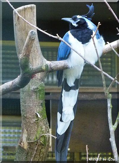 Blauwangenhäher