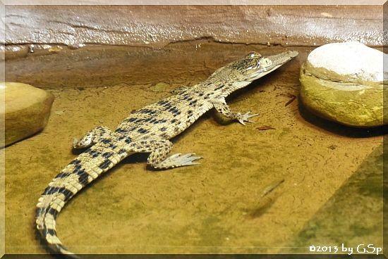 Philippinen-Krokodil, geschlüpft 13.7.13
