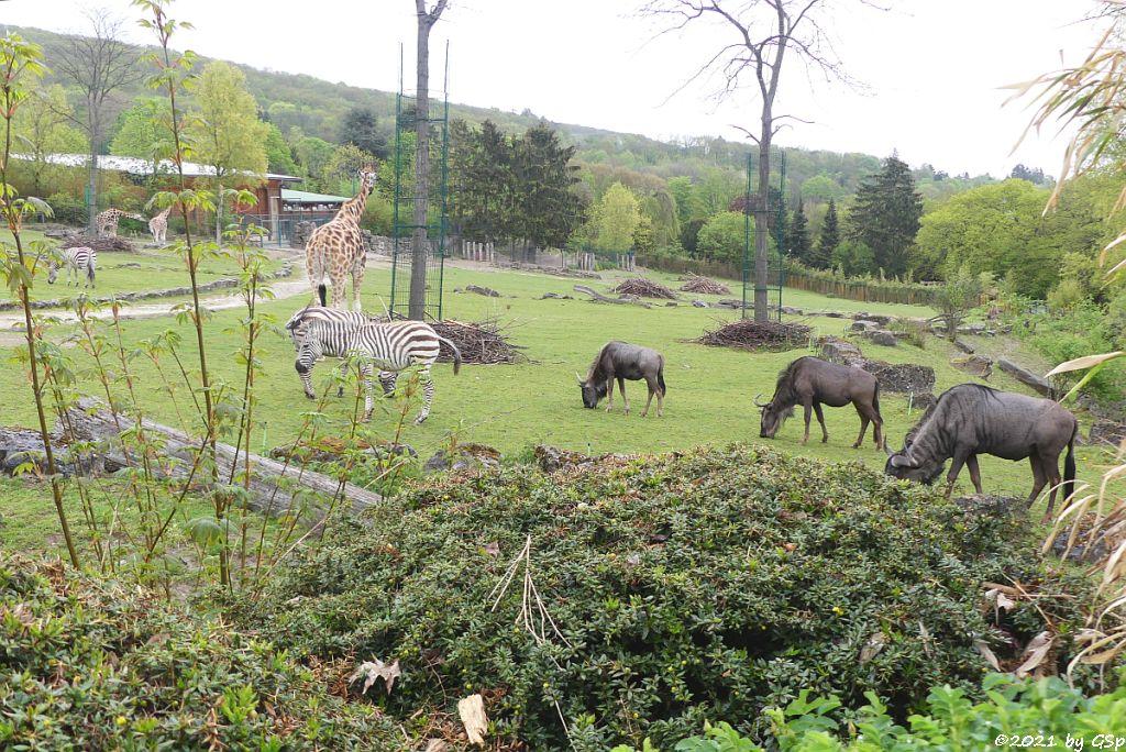 Böhm-Steppenzebra (Grant-Zebra), Rothschildgiraffe (Uganda-Giraffe, Baringo-Giraffe), Südliches Streifengnu (Blaues Gnu)