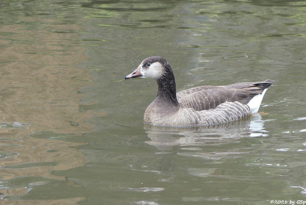 Grau- und Kanadagans-Hybrid